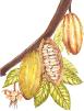 Hojas de cacao